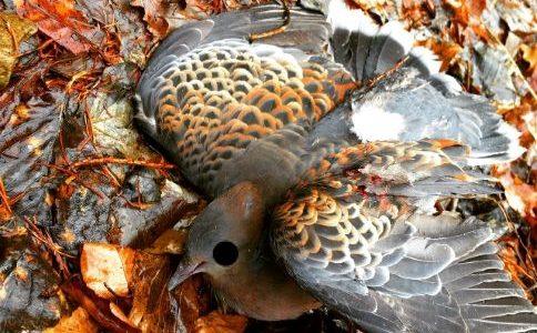 【狩猟】狩猟鳥獣のキジバトを空気銃で仕留めるために考えた5つのポイント